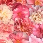 the-camellia-show